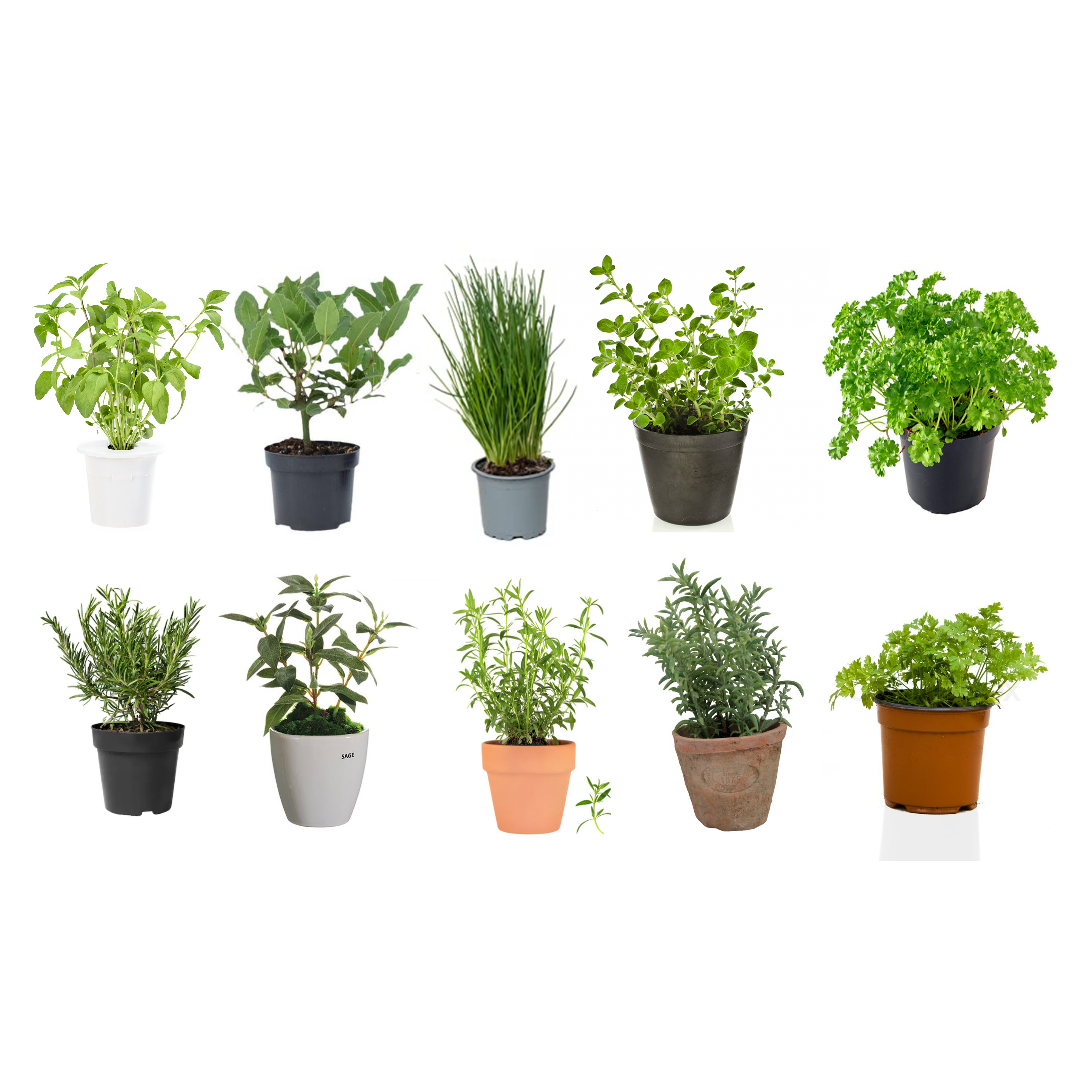 10 herbs you can grow indoor all year