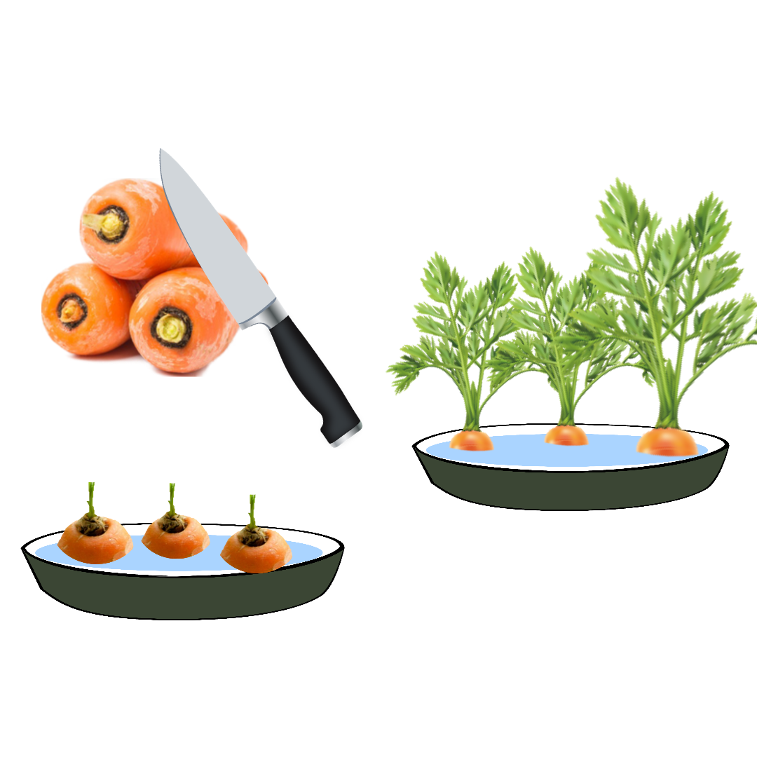 Regrow your carrot scraps