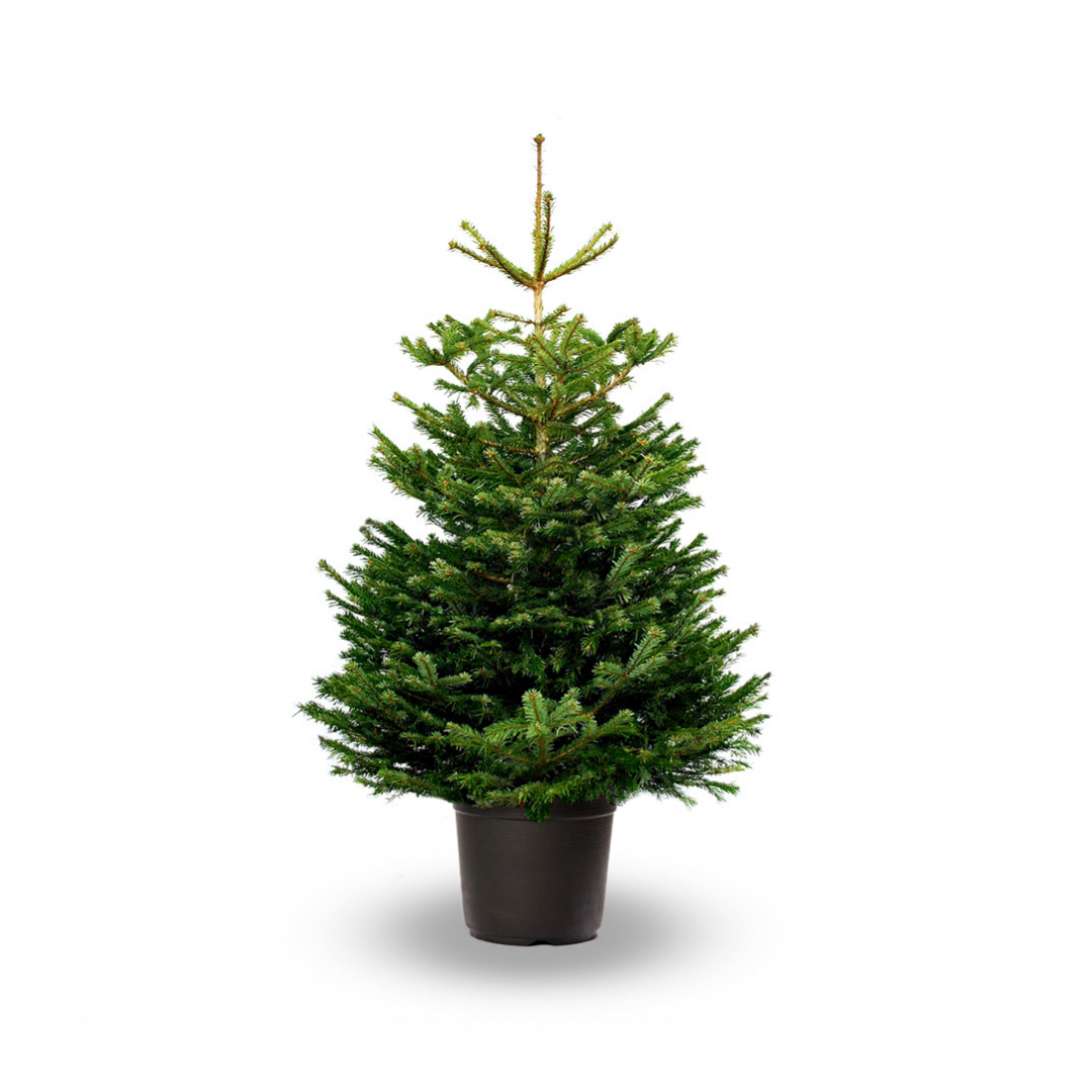 This year, hire your Christmas tree