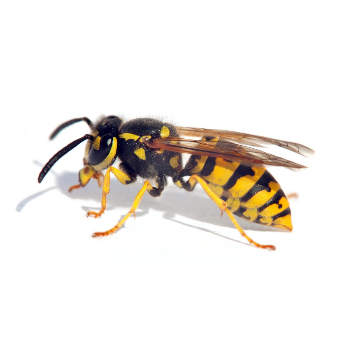 Wasps play a crucial role in the ecosystem