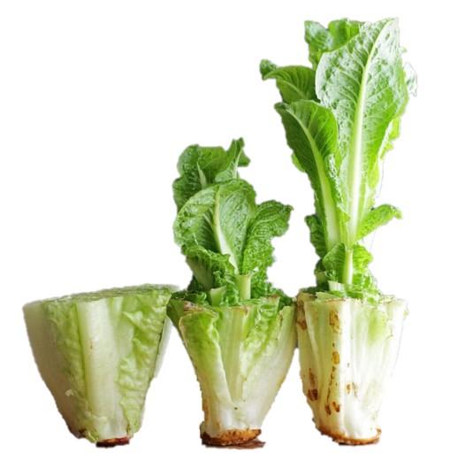 How to regrow your lettuce scraps